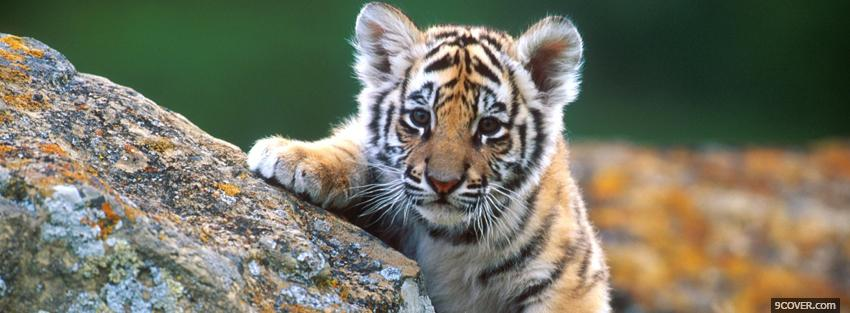 Photo baby tiger and rocks Facebook Cover for Free