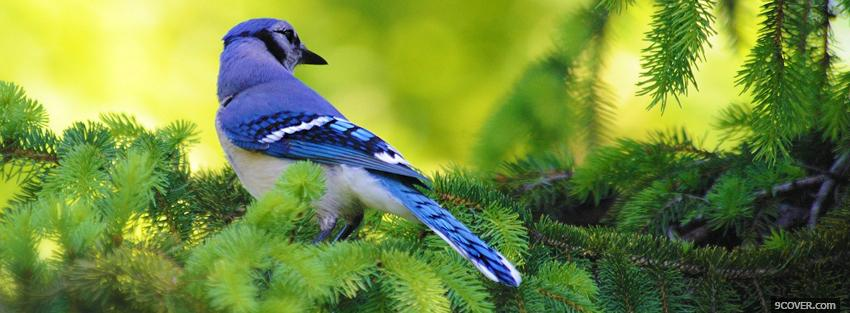 Photo wonderful blue jay Facebook Cover for Free