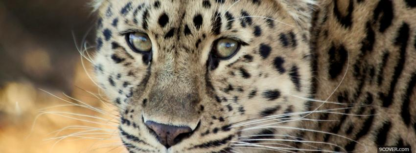 Photo leopard face close up Facebook Cover for Free