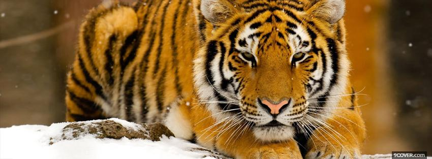 Photo tigre in the snow animals Facebook Cover for Free