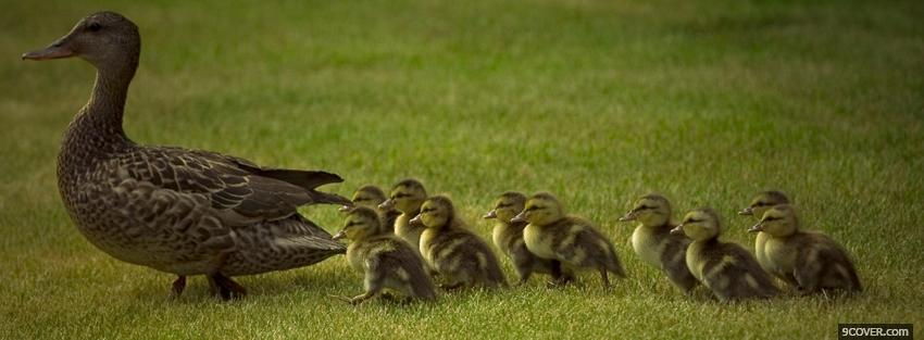 Photo family of ducks animals Facebook Cover for Free