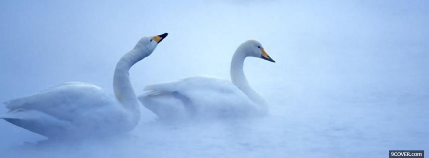 Photo beautiful animals swans Facebook Cover for Free