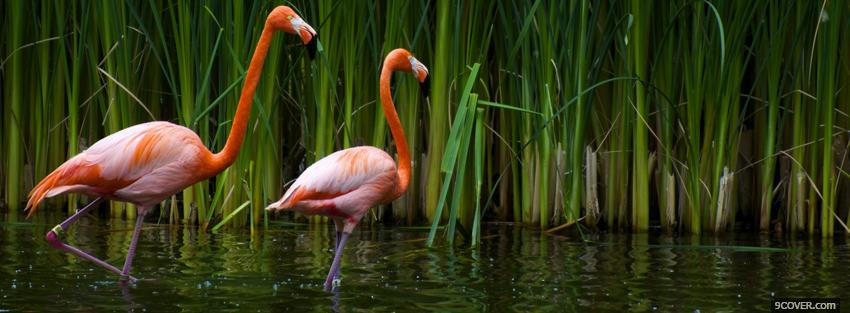 Photo two flamingos in the water Facebook Cover for Free