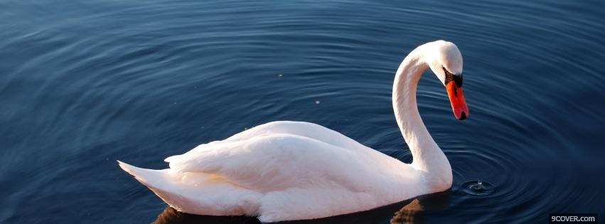 Photo beautiful swan animals Facebook Cover for Free