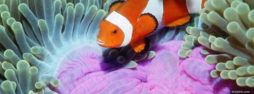 Photo clow fish and corals animals Facebook Cover for Free