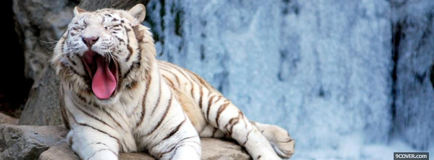 Photo sleepy white tiger animals Facebook Cover for Free