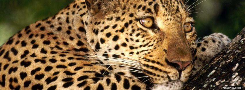 Photo thinking leopard animals Facebook Cover for Free