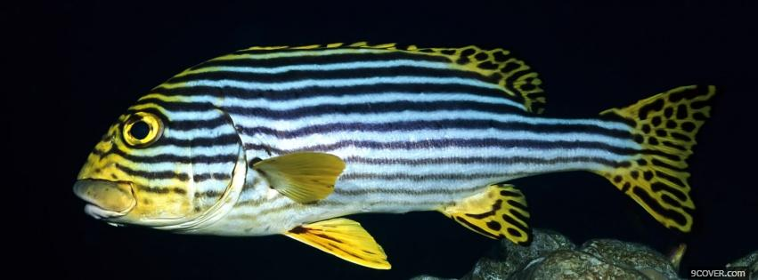 Striped fish animals photo facebook cover for Tiger striped fish
