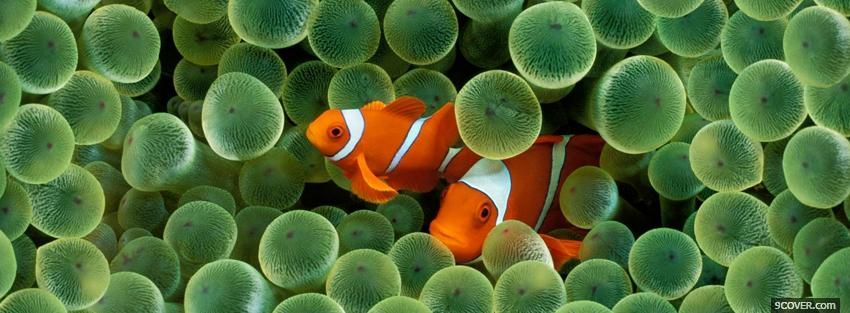 Photo two amazing clown fishes Facebook Cover for Free