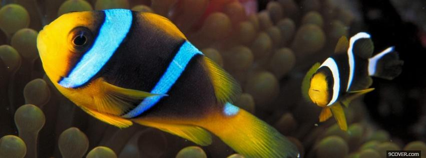 Photo incredible clown fishes Facebook Cover for Free