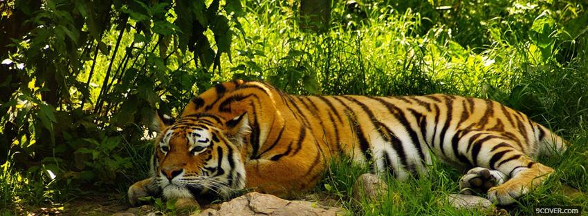 Photo amazing relaxing tigre Facebook Cover for Free