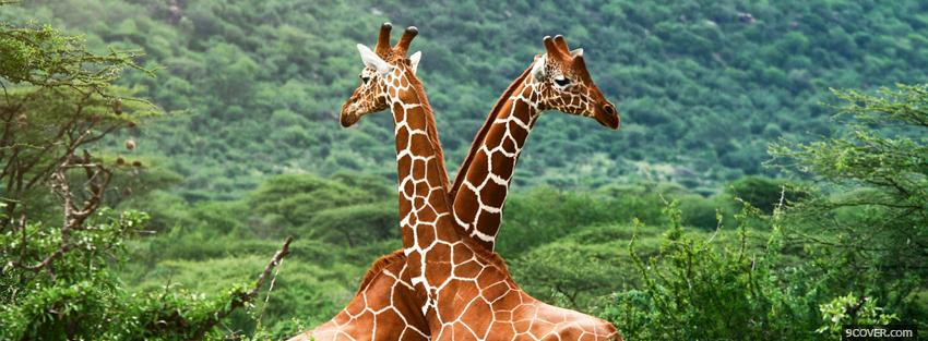 Photo girafes in love animals Facebook Cover for Free