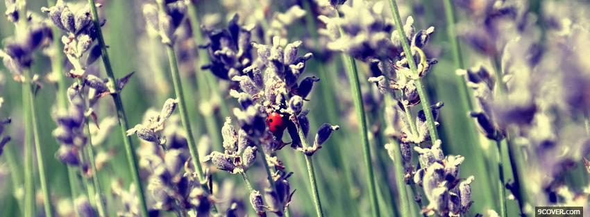 Photo lady bug on lavender flower Facebook Cover for Free