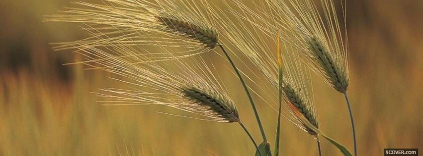 Photo wheat nature Facebook Cover for Free