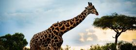 girafe in the safari animals facebook cover