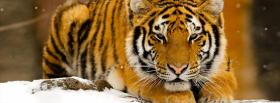 tigre in the snow animals facebook cover