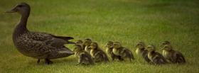 free family of ducks animals facebook cover