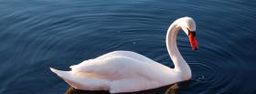 free beautiful swan animals facebook cover
