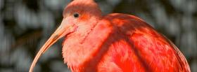 red beautiful bird animals facebook cover