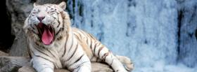 sleepy white tiger animals facebook cover