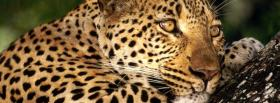 thinking leopard animals facebook cover