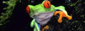 free red eyed tree frog animals facebook cover