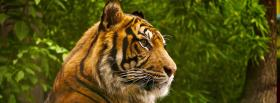 free beautiful animal tigre facebook cover