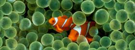 two amazing clown fishes facebook cover