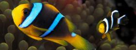 free incredible clown fishes facebook cover