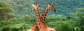 girafes in love animals facebook cover