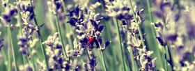 lady bug on lavender flower facebook cover