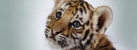 cutest baby tiger animals facebook cover