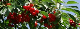 free cherry tree nature facebook cover