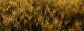 free growing wheat nature facebook cover