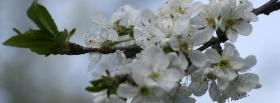 free branch white flowers nature facebook cover