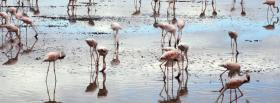 free flamingos in water nature facebook cover