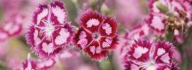 free dianthus barbatus flowers nature facebook cover