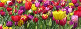 free colorful tulips nature facebook cover