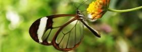 free glasswing butterfly nature facebook cover
