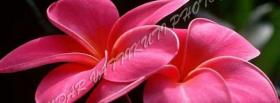 free gorgeous pink flowers facebook cover