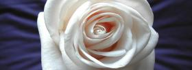 free white rose nature facebook cover