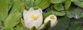free white water lily nature facebook cover