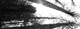 free tall trees nature facebook cover