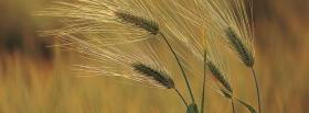 free wheat nature facebook cover