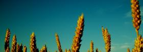 free wheats and blue sky facebook cover