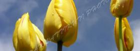 free yellow tulips nature facebook cover