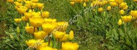 free tulips yellow garden facebook cover