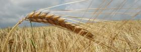free wind and wheat nature facebook cover