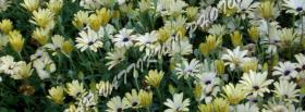 free yellow and white flowers facebook cover