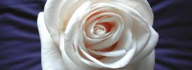 free white pretty rose nature facebook cover